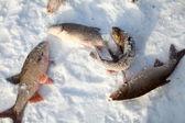Fish on snow — Stock Photo