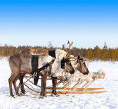 Reindeers in harness — Photo