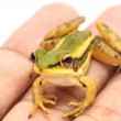Green frog — Stock Photo #34576711