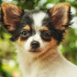 Cute little dog  — Foto Stock