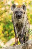 Hyena — Stock Photo