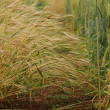Golden fields of barley — Stock Photo