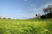 Green fields of barley — Stock Photo