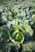 Convert fresh green cabbage. — Stock Photo