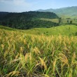Rice Fields — Stock Photo #33467945