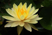 This is waterlily or lotus in asia. — Stock Photo