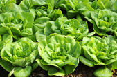 Butterhead lettuce — Stock Photo