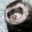 Ferret sleeps — Stock Photo