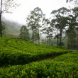 Stock Photo: Teplantations in Sri Lanka