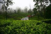 Tea plantations in Sri Lanka — Stock Photo