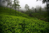 Tea plantations in Sri Lanka — Stock fotografie