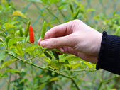 Female hand pluck a ripe chili in the garden with vibrant colors — Stock Photo