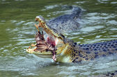 Saltwater crocodile while devours a prey — Stock Photo