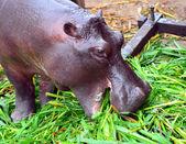 A hippopotamus enjoying eating a lot of green grass — Stock Photo