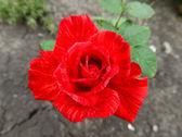 Unusual rose — Stock Photo