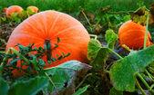 Halloween pumpkin in the garden — Stock Photo