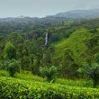Tea plantation Sri lanka — Stock Photo