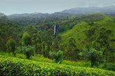 Tea plantation Sri lanka — Stock Photo