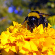 Bumble bee sits on a flower — Stock Photo