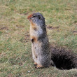Stock Photo: Gopher on duty