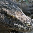 Close Up of Komodo Dragon in the Wild — Stock Photo