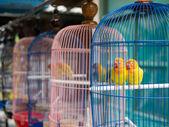 смеющийся кольчатый попугай — Стоковое фото