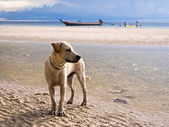 Beautiful Dog at a Tropical Beach — Stock Photo