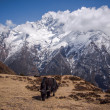 Yak Grazing on Himalayan Pastures — Stock Photo