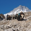 Yaks on the Everest Base Camp Trek — Stock Photo