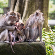 Stock Photo: Rhesus Monkeys in Ubud, Bali, Indonesia