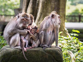 Rhesus Monkeys in Ubud, Bali, Indonesia — Stock Photo