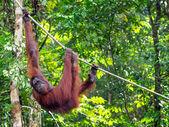 Borneo Orangutan at the Semenggoh Nature Reserve Near Kuching, M — Stockfoto