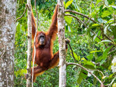 Female Borneo Orangutan at the Semenggoh Nature Reserve, Kuching — Stockfoto