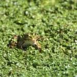 Frog 1 — Stock Photo #33417483