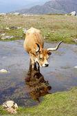 Wild mountain cow — Foto Stock