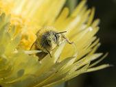 Pollen — Stock Photo