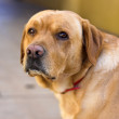Nino the labrador — Stock Photo #33696265
