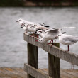 Gulls in line — Stock Photo