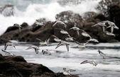 Shorebirds - little sea birds in flight — Stock Photo