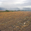 Stock Photo: Corn crop remains