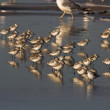 Stock Photo: Shorebirds