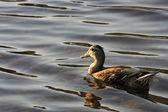 Savage duck — Stock Photo