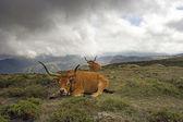 Mountain semi-wild cattle — Stock Photo