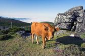 Mountain cow — Stock Photo