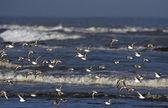 Shorebirds — Stock Photo