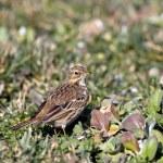 Wild birdie — Stock Photo