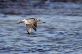 Sea bird in flight — Stock Photo
