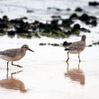 Stock Photo: Shorebird