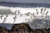 Flock of little sea birds flying — Stock Photo