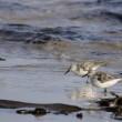 Stock Photo: Shorebirds - sebirds